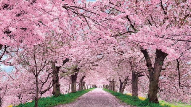 cherry-blossom-4